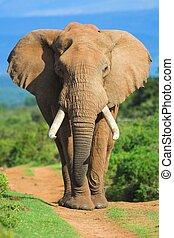 портрет, слон