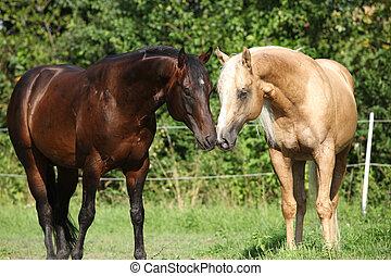 постоянный, два, stallions, пастьба