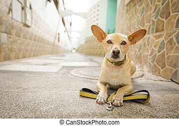 привязь, waits, собака, ходить