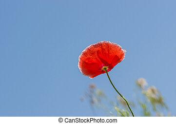 против, мак, синий, красный, цветок, небо