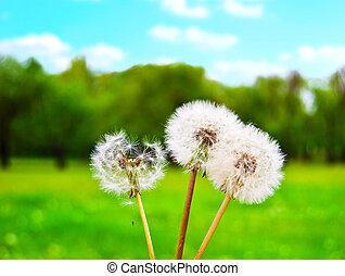 против, поляна, dandelions, небо, солнечный, зеленый, пушистый, белый