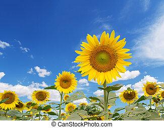 против, синий, небо, солнце, цветок