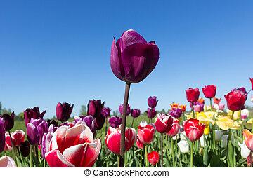 против, синий, tulips, красный, небо