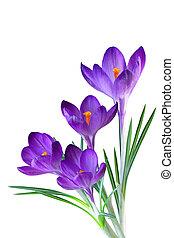 пурпурный, крокус