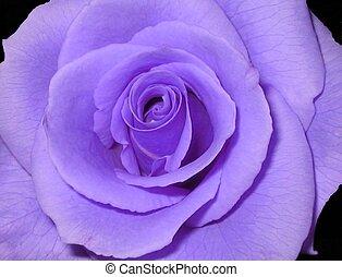 пурпурный, роза
