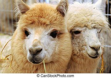 пушистый, два, alpacas