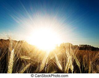 пшеница, золотой, поле
