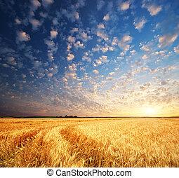 пшеница, луг