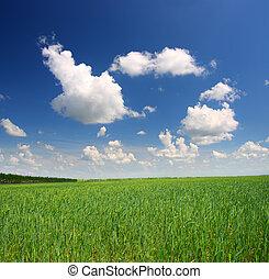 пшеница, поле, зеленый