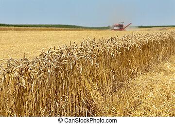 пшеница, уборка урожая, сельское хозяйство