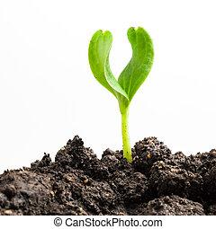 растение, выращивание, зеленый