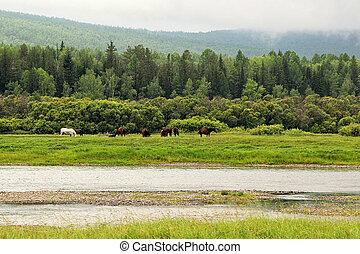 река, grazing, луг, сибирь, horses