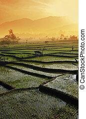 рис, пейзаж, сельское хозяйство, поле