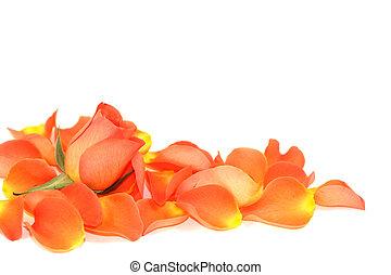 роза, над, petals
