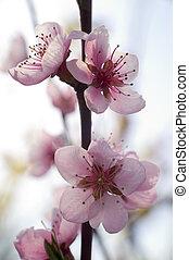 розовый, весна, цветок