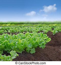 салат, органический, сад