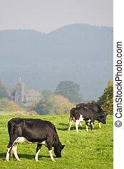 сельская местность, grazing, британская, крупный рогатый скот