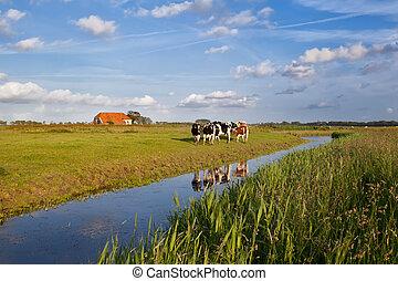сельхозугодий, крупный рогатый скот, голландский