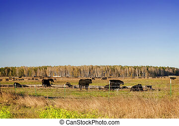 сельхозугодий, крупный рогатый скот, sunset.