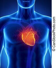 сердце, сосредоточены, человек
