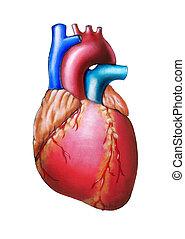 сердце, человек
