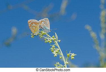синий, бабочка, связь, семья, общий, акт
