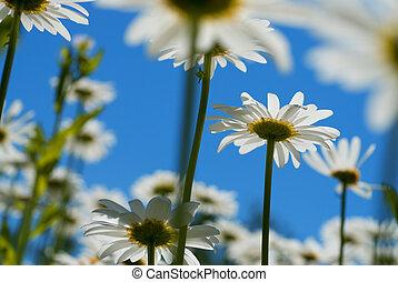 синий, белый, небо, chamomiles, против