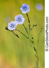 синий, весна, мелкий, лен, поле, глубина, крупным планом