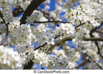 синий, весна, blossoming, дерево, против, небо