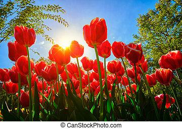синий, выгодная позиция, tulips, небо, против, низкий, blooming