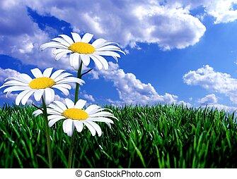 синий, зеленый, трава, небо, daisies