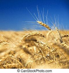 синий, золотой, пшеница, против, небо