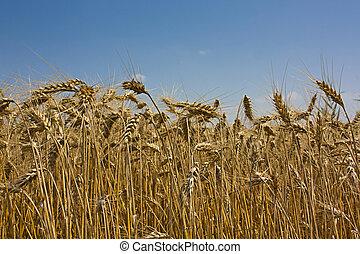 синий, золотой, пшеница, grains, небо, против