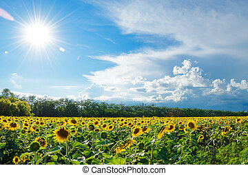 синий, золото, большой, небо, поле, яркий, sunflowers, под, солнце