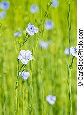 синий, крупным планом, лен, глубина, весна, поле, мелкий
