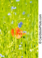 синий, лен, поле, мак, цветы, красный