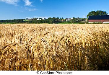синий, лето, пшеница, созревший, рожь, небо, сельское хозяйство