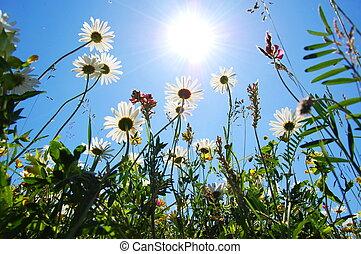 синий, лето, цветок, небо, маргаритка