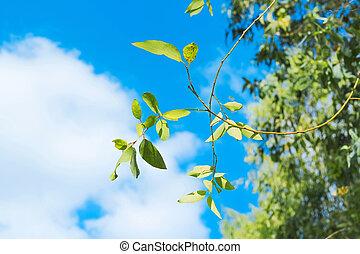синий, лист, чисто, небо, зеленый, свежий