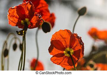 синий, небо, красный, против, poppies