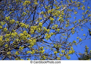 синий, небо, против, задний план, цветы, кленовый