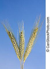 синий, небо, пшеница, против