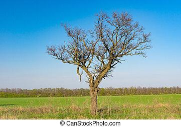 синий, одинокий, небо, дерево, против, безоблачный, акация