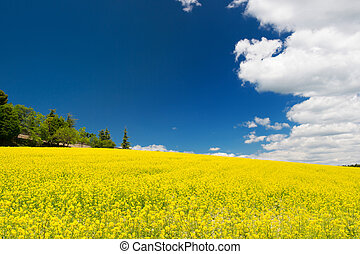 синий, поле, небо, рапсовое, против