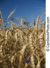 синий, пшеница, золото, небо, против, крупным планом, цветы