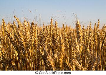 синий, пшеница, небо, под