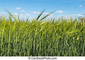 синий, пшеница, небо, против, поле, зеленый