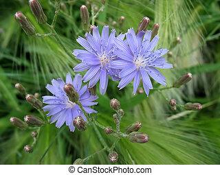синий, салат, цветы, три