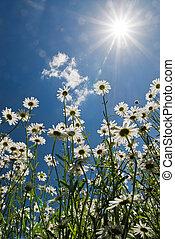 синий, солнце, небо, против, белый, chamomiles