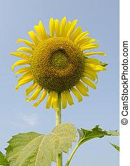 синий, солнце, цветок, небо, против